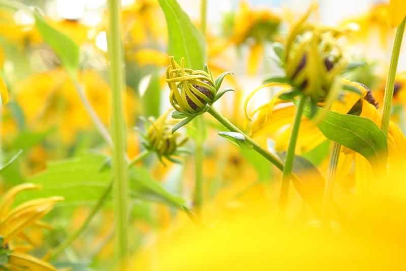Sonnenhut-Garten-Fotografie-by-Ana-Madic