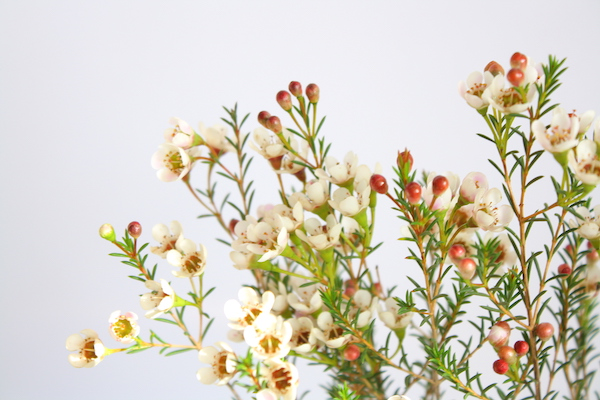 Ana-Madic-Fotografie-Wachsblume-Freues-Neues